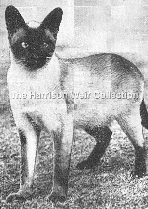 1927 Hints to Cat Lovers .Siamese.Prestwick Puji - FB web